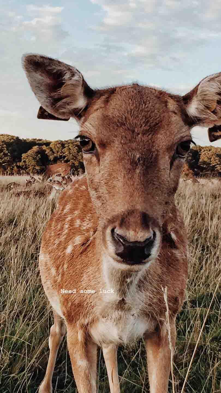 [ Dublin,Ireland ] Dear deer ,鳳凰公園(Phoenix park)